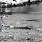 Heron on frozen village pond by LisaRoberts