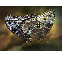 Morphos mating Photographic Print