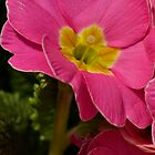 Pink winter Primulas by Sara Sadler