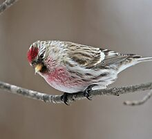 Common Redpoll by Melissa Penta