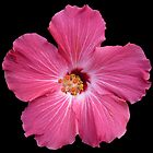 Pink Flower Print On Black by DreamByDay