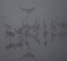 Common crane (Grus grus) Silhouetted at dawn by PhotoStock-Isra