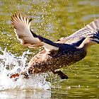 A Pacific Black Duck Takes Flight. by Nick Griffin