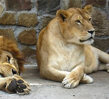 Lion and a lioness have a rest by alexmak