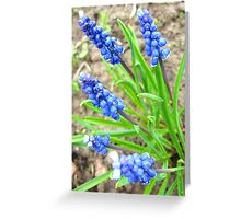 Some beautiful blue flowers of muscari Greeting Card