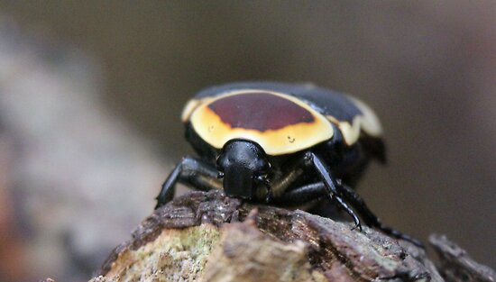 Sun Beetle by Martynb