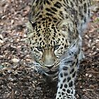 amor leopard by Martynb
