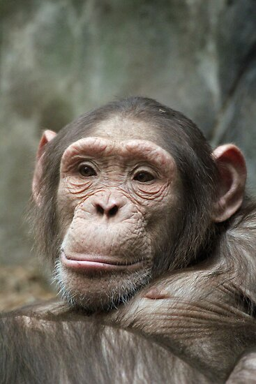 cute chimp by Martynb