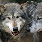 timber wolves by Martynb