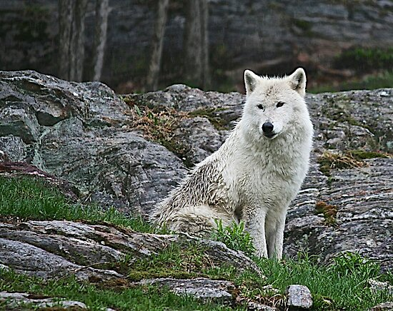 Arctic Wolfe by Rose Landry