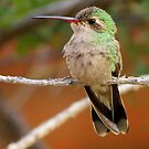 Broad-billed Hummingbird (Female) by Kimberly Chadwick