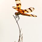dragonfly by tammy lee bradley