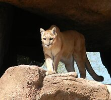 Mountain Lion by gurineb