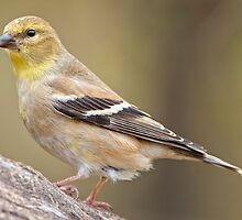 American Goldfinch by Bonnie T.  Barry