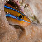 Bluestriped Fangblenny, Wakatobi National Park, Indonesia by Erik Schlogl