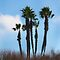 Coronado Palms by heatherfriedman