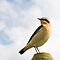 Wheatear, Bannow Bay, County Wexford, Ireland by Andrew Jones