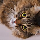 Domestic Medium Hair Cat by PrecisionImages