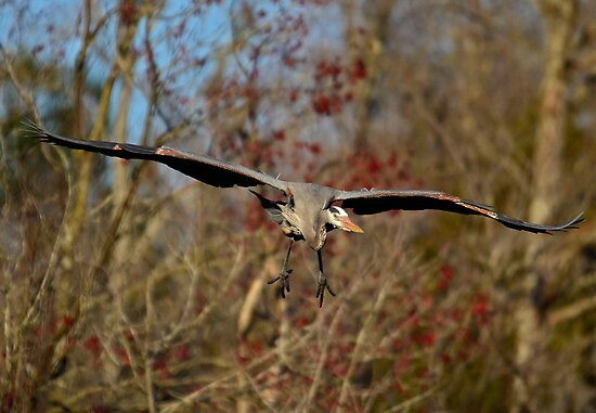 Great Blue Heron Headed Right For Me by imagetj