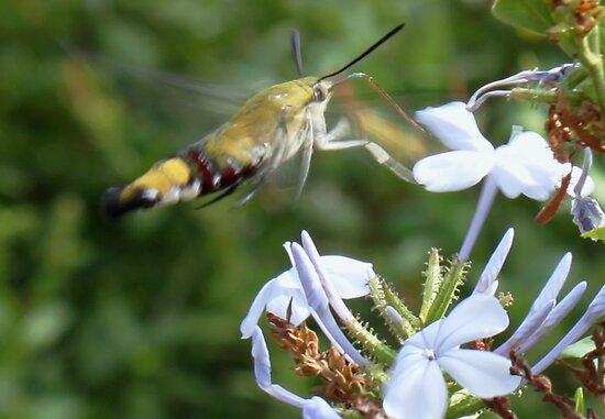 Oriental Bee Hawk  - Cephonodes hylas virescens by Rina Greeff