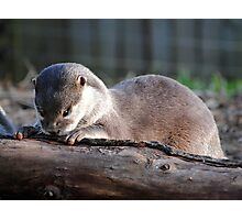 Nosey Baby Otter Photographic Print