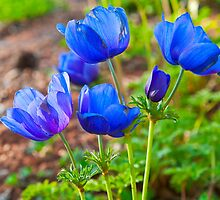 Blue poppies by Benjamin Gelman