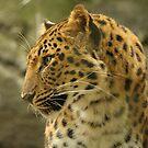 Amur Leopard by Howard & Rebecca Taylor