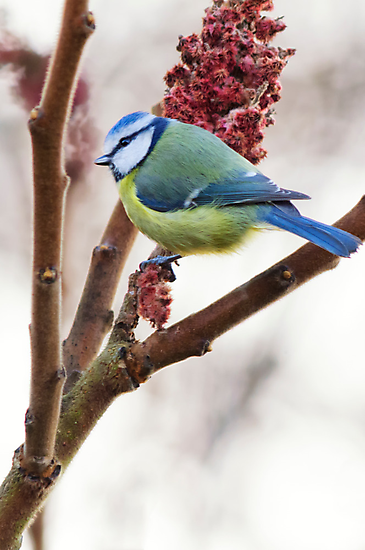 Blue tit feeding on winter rhus, County Kilkenny, Ireland by Andrew Jones