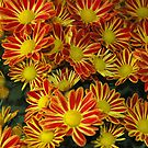 Mums - Red &amp; Yellow by Paul Gitto