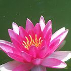 Pink Water Lily by pateabag