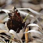 Mourning Cloak butterfly on dry grass by themanitou