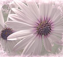 Coreopsis - Dreaming in Pink by MotherNature