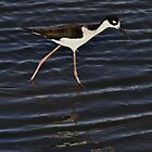 Quick-Stepping Black-Necked Stilt by fototaker