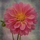 Pink dahlia! by Lyn Darlington