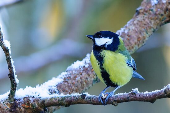 Great tit, County Kilkenny, Ireland by Andrew Jones