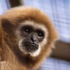 Lar Gibbon by vivsworld