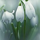 Silky Snowdrops by Bob Daalder