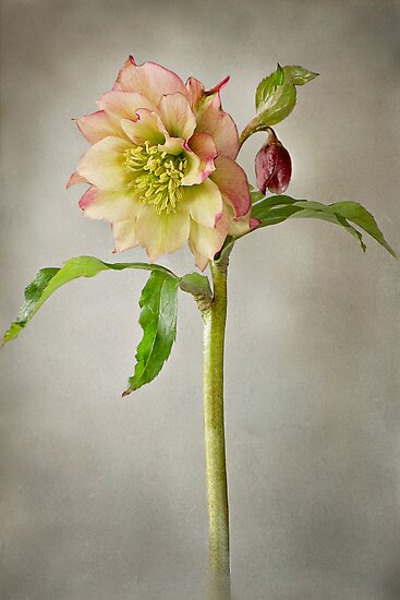 Lenten Rose by Jacky Parker