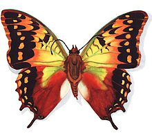 Butterfly Charaxes Species, Orange by Katy Hood
