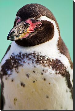 Humboldt Penguin by vivsworld
