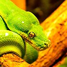 Emerald Tree Boa by scott staley