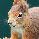 Red Squirrel 4 by Christopher Lloyd