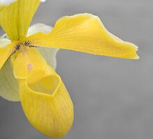 Yellow Slipper by Lynn Wiles
