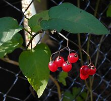 Berries against a Fence by TCbyT