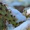 Chilled Prickly Pear Cacti by Kimberly P-Chadwick