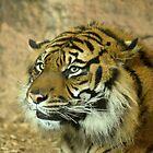Sumatran tiger by MaartenMR