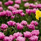 A lone Daffodil among tulips  by mcdesign