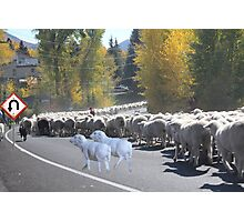 """Whadda ya mean you want to go back…..can't you read the sign????  It says 'No Ewe Turn"""" ! Photographic Print"""