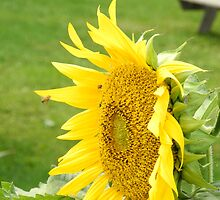 Sunflower Profile by TCbyT