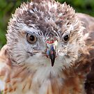 Red-Tail by Kelly Kahl